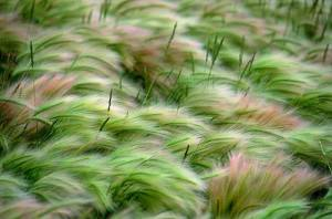 Windblown grass on the American prairie, United States, photo by Annie Griffiths